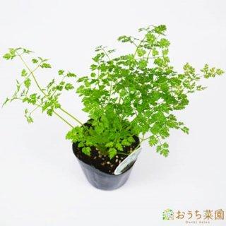 チャービル / 苗 / ハーブ 野菜 / 9cm ポット