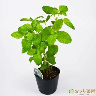 オーデコロン ミント / 苗 / ハーブ 野菜 / 9cm ポット