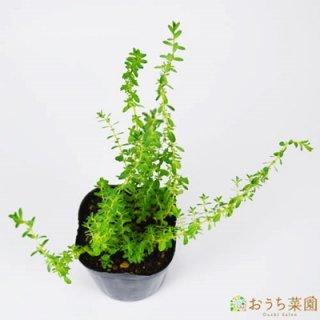 セントジョーンズワート / 苗 / ハーブ 野菜 / 9cm ポット