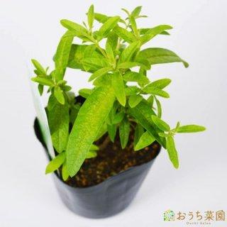 レモン バーベナ / 苗 / ハーブ 野菜 / 9cm ポット
