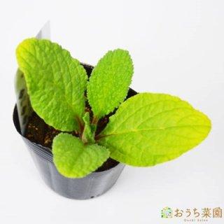 ボリジ  パープル / 苗 / ハーブ 野菜 / 9cm ポット