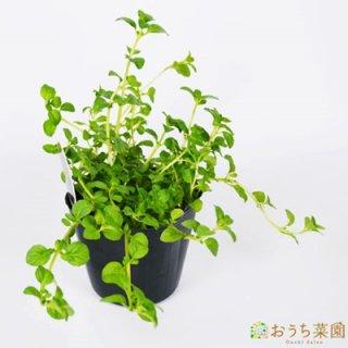 ペニーロイヤルミント / 苗 / ハーブ 野菜 / 9cm ポット