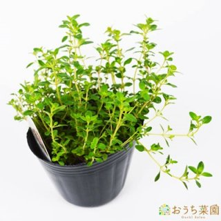 クリーピング タイム  / 苗 / ハーブ 野菜 / 9cm ポット