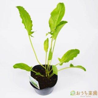 フレンチソレル / 苗 / ハーブ 野菜 / 9cm ポット