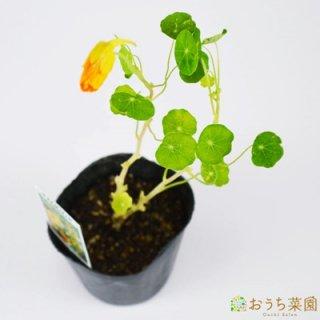 ナスタチウム ゴールド / 苗 / ハーブ 野菜 / 9cm ポット
