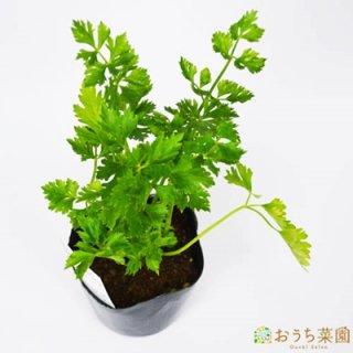 ハーブ セロリ ( スープ セロリ ) / 苗 / ハーブ 野菜 / 9cm ポット