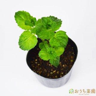 グレープフルーツ ミント / 苗 / ハーブ 野菜 / 9cm ポット