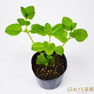 オレンジ ミント / 苗 / ハーブ 野菜 / 9cm ポット