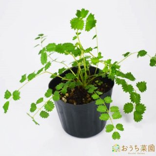 サラダバーネット / 苗 / ハーブ 野菜 / 9cm ポット