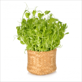 有機 青 えんどう 豆 / 豆苗 / 有機 種子 固定種 / グリーンフィールド / スプラウト [小袋]