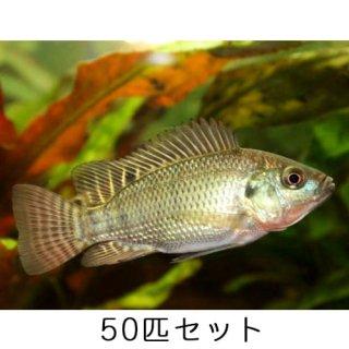 ティラピア / ニロチカ / 稚魚 / 純正種 / 50匹 セット