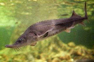 チョウザメ 稚魚 / シベリア 純正種 / 体長20cm (±3cm)