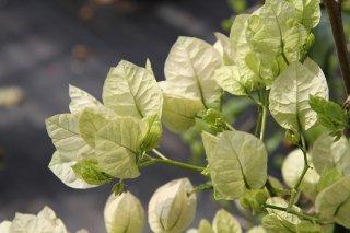 ブーゲンビリア ハワイホワイト  15cmポット苗