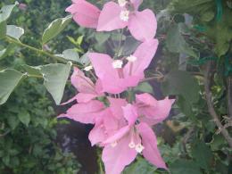 ブーゲンビリア バタフライピンク  15cmポット苗