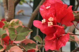 ブーゲンビリア ラズベリーアイス  15cmポット苗