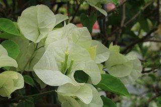 ブーゲンビリア ジャマイカホワイト  15cmポット苗