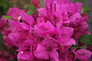 ブーゲンビリア パピヨンピンク  15cmポット苗