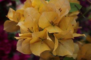 ブーゲンビリア ジンダーイエロー  15cmポット苗