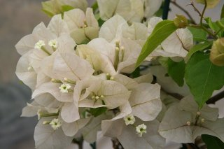 ブーゲンビリア パピヨンホワイト  15cmポット苗