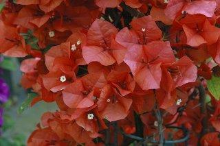 ブーゲンビリア レインボーライトオレンジ  15cmポット苗