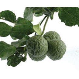 カフィアライム(こぶみかん果皮)/Kaffir lime /Citrus hystrix DC.