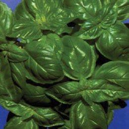 バジルエキゾチック/Basilic exotique/Ocimum basilicum var basilicum