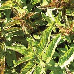 ベルガモットミント/Bergamot mint/Mentha citrata