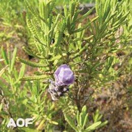 スパイクラベンダー/Spike Lavender/Lavandula latifolia