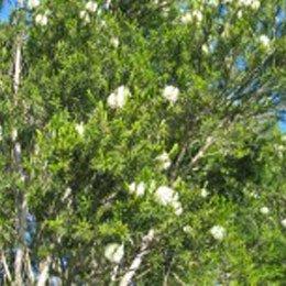 ロザリナ/Rosalina/Melaleuca ericifolia