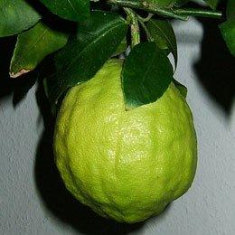 シトロン/Citron/Citrus medica