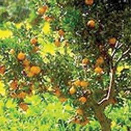 ビターオレンジ/Bitter Orange BIO/Citrus aurantium bigaradia
