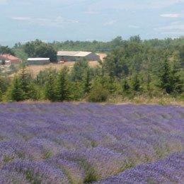 メイレットラベンダーBIO/Lavender Maillette/Lavandula angustifolia