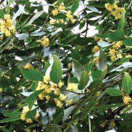 ローリエ/Bay leaf/Laurus nobilis