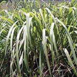 シトロネラ(ジャワ)/Citronella java/Cymbopogon winterianus