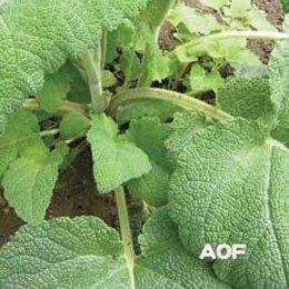 クラリセージBIO/Clary sage BIO/Salvia sclarea