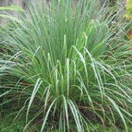ジンジャーグラス/Ginger grass/Cymbopogon martinii sofia