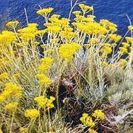 ヘリクリサム/Helichrysum/Helichrysum Italicum