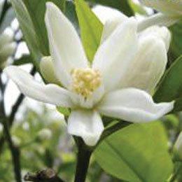 ネロリ/Neroli/Citrus aurantium bigaradia