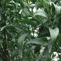 プチグレインマンダリン/Petitgrain mandarin/Citrus reticulata