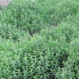 スペアミント/Spearmint/Mentha viridis (spicata)