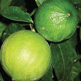 ベルガモット(FCF)/BergamoteFCF/Citrus bergamia