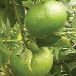 マンダリングリーン/Mandarin green/Citrus reticulata