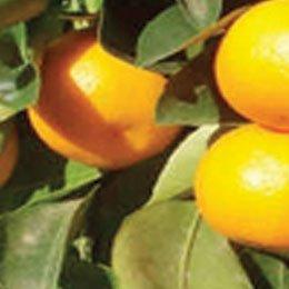 タンジェリン/Tangerin/Citrus reticulata hybrida