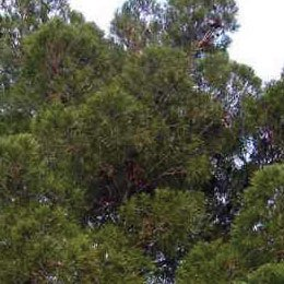 フランス海岸松(ターペンタイン)/Terebenthine/Pinus pinaster