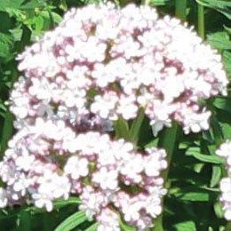 バレリアン/Valerian/Valeriana officinalis