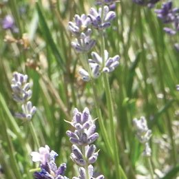 カシミールラベンダーCO2/Lavender CO2/Lavandula angustifolia