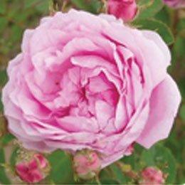 ローズCO2/Rose CO2/Rose centifolia