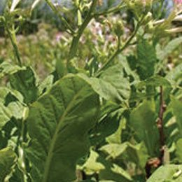 タバコリーフABS/Tabacco ABS/Nicotiana tabacum L