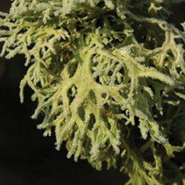 オークモスABS/Oak Moss ABS/Evernia prunastri vacuum