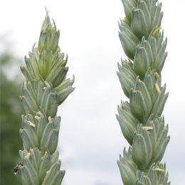小麦胚芽オイル/Wheat germ/Triticum vulgare